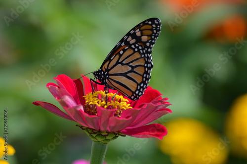 Monarch butterfly in the garden - 221640136