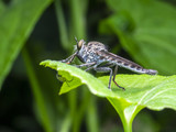 A macro picture of an insect that called as Rober Fly - 221647771
