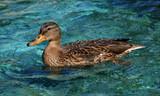 Утка плывёт по озеру. - 221650989