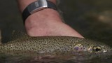 Closeup of rainbow trout - 221656914