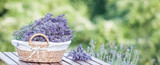 Harvesting of lavender. A basket filled with purple flowers stands on a wooden table on a background of green lavender fields.