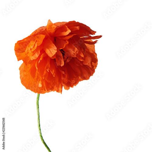 Fototapeta Single red poppy flower with green leaves isolated on white background.