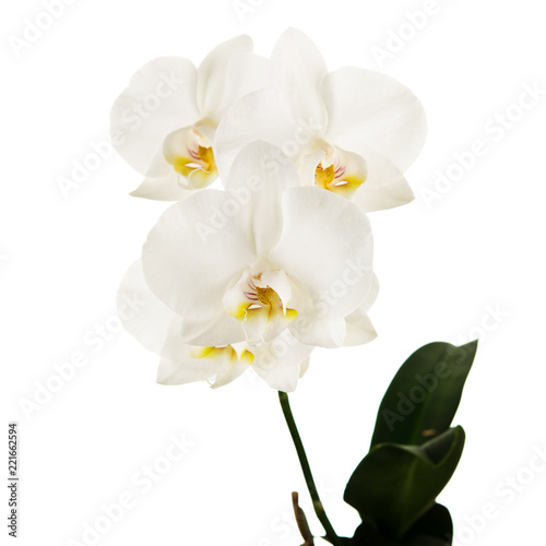 Blooming twig of Phalaenopsis orchid flowers isolated on white background.
