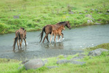 Wild horses mare and foal running across the river in Kaimanawa ranges, Central Plateau, New Zealand - 221668502