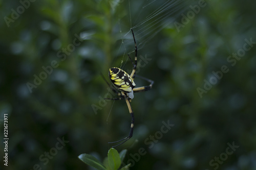 Fototapeta Large Orb Weaving Spider, Yellow And Black Garden Spider