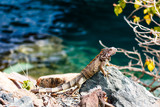 Wild green iguana on the rocks of St. Thomas, US Virgin Islands. Close up photo of a lizard in the sun. - 221676581