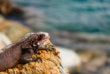 Wild green iguana on the rocks of St. Thomas, US Virgin Islands. Close up photo of a lizard in the sun. - 221676921