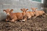 Litle cows