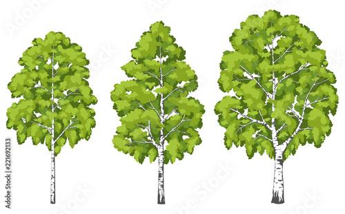 Fototapeta Birch tree. A set of images.