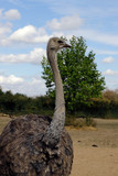 Portrait of South African female common ostrich (Struthio camelus) - 221696341