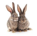 Two gray rabbits. - 221698194