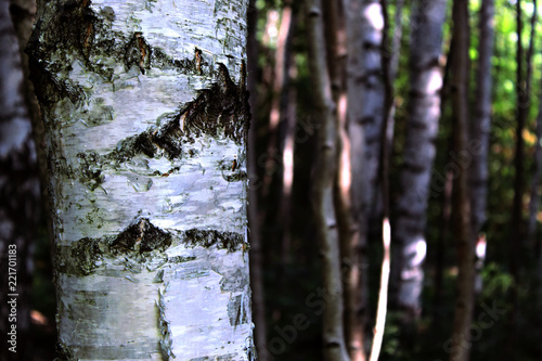 The birch standing in a dense forest