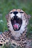 Cheetah - 221707327