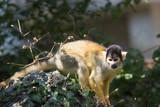 black-capped squirrel monkey - 221707551