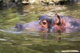 Hippopotamus - 221707782