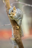 Squirrel sitting on tree branch and eating - 221710154