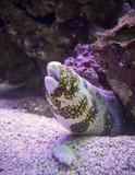 A Moray Eel on a Reef, Maui, Hawaii - 221712367