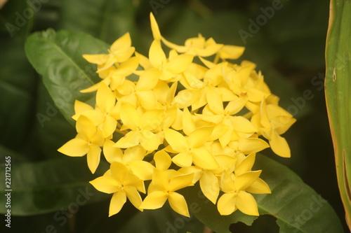 Sticker Yellow Ixora coccinea