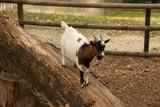 Chèvre dans un parc d'animaux - 221712972