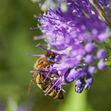 Honey bee pollinating on purple flower shrub
