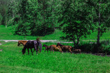a herd of horses on a green field, meadow, pasture