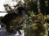 Barbary macaques from Gibraltar - 221723528