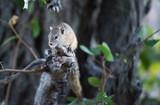 Eichhörnchen / Squirrel in Botswana - 221724579