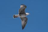 JuvenileYellow-legged gull (larus michahellis) in flight on blue sky - 221726132
