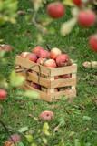 Fresh organic autumn apples in a wooden garden box. - 221736354