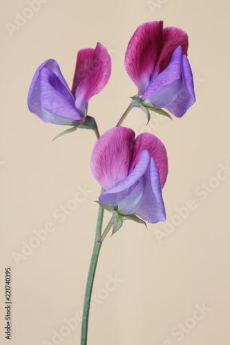 Purpury z różowymi kwiatami słodcy grochy odizolowywający na beżowym tle.
