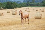Portrait of nice horse running on field - 221740558