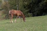 Fohlen grast auf der Wiese - 221741582
