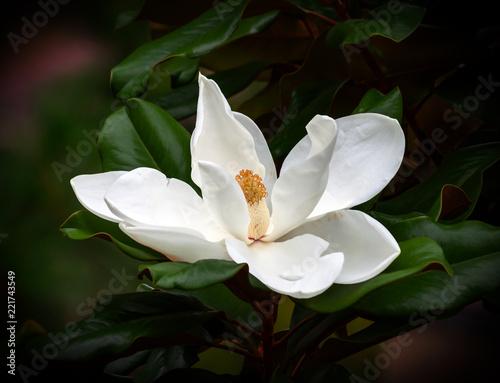 Fototapeta magnolia blossom isolated against a dark green leaf background