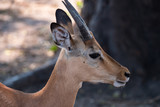 Impala in Chobe National Park, Botswana - 221744534