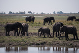 Elephants in Chobe National Park, Botswana - 221747145