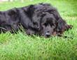 Black Newfoundland Dog takes a rest on the Farm