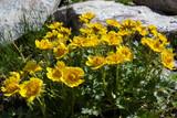 Alpine wild flower Geum Reptans (Creeping Avens). Photo taken at an altitude of 2500 meters. - 221759770