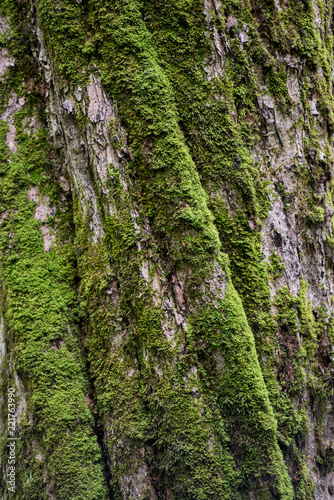 Moss on the Twisted Bark of Tree - 221763990