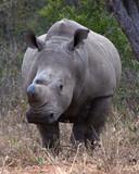 Rhino, South Africa - 221773196