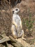 Meerkat, Suricata suricatta, female on guard - 221781723
