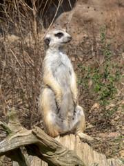 Meerkat, Suricata suricatta, female on guard
