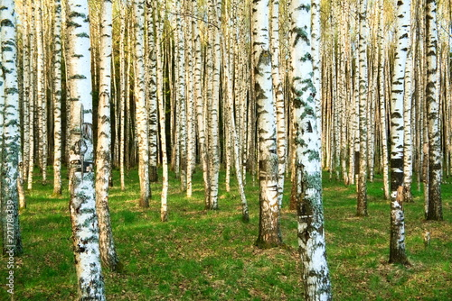 Birch forest in the spring.