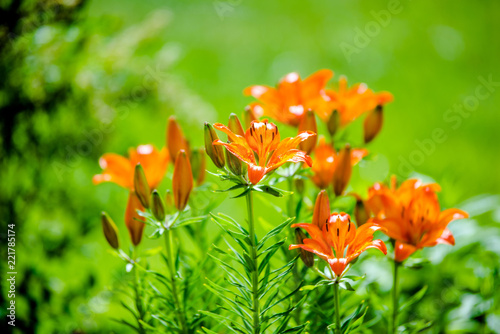 Foto Murales orange lilies bloom in the garden of a country