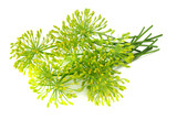 fresh dill flower isolated on white background - 221787799