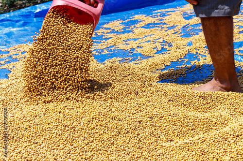 Proces osuszania soi przez słońce rolnika z północnej Tajlandii, dla wysłania do zakładu przetwórczego w celu zwiększenia ceny soi.