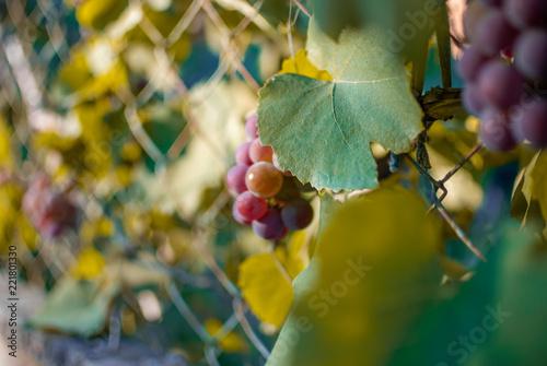 Foto Murales juicy grapes, autumn, berries