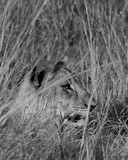 Lion Cubs feeding and playing. - 221805199