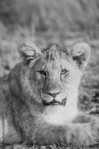 Fototapeta Lion Cubs feeding and playing.