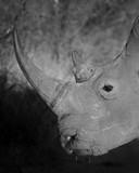 White Rhino in Black and White - 221805395