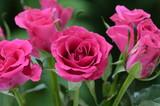 Bukiet róż - 221806102